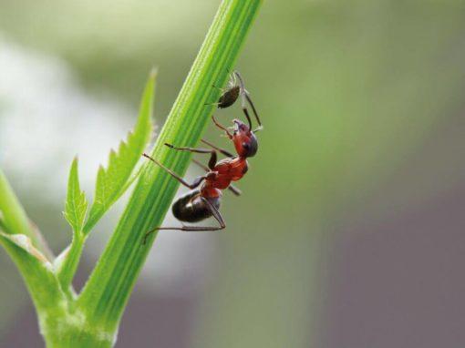 Ameise melkt eine Blattlaus
