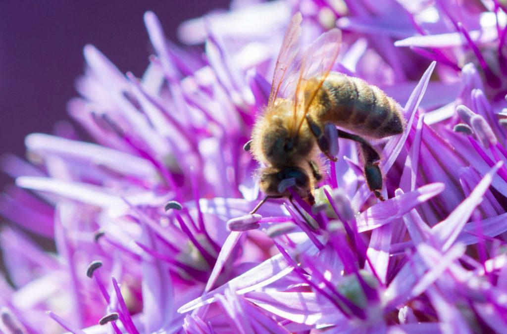 Eine Biene fühlt sich auf der Allium-Blume besonders wohl