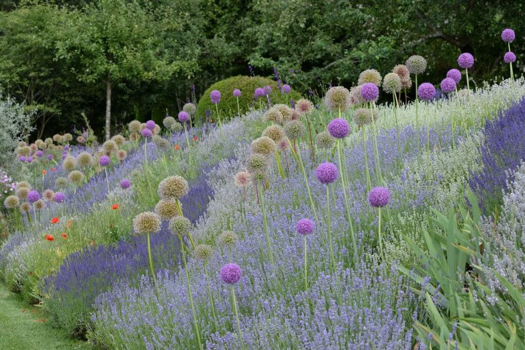 Eine Lavendel-Pracht mit Lavendel in verschiedenen Größen