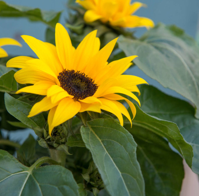 Sonnenblumen Zeigen Den Sommer Auf Balkonien