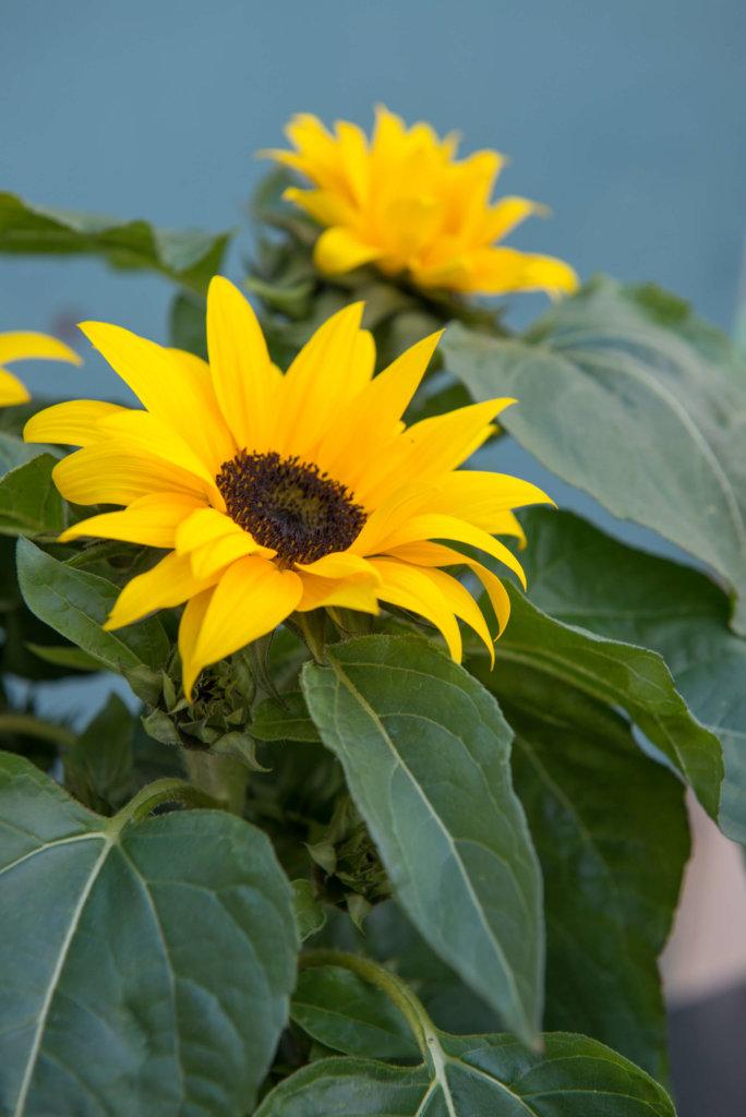 Sonnenblumen jetzt im Miniformat für Ihren Balkon oder Terrasse ...