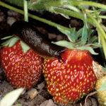 Eine Nacktschnecke sitzt auf einer Erdbeere (Beete vor Schnecken schützen).