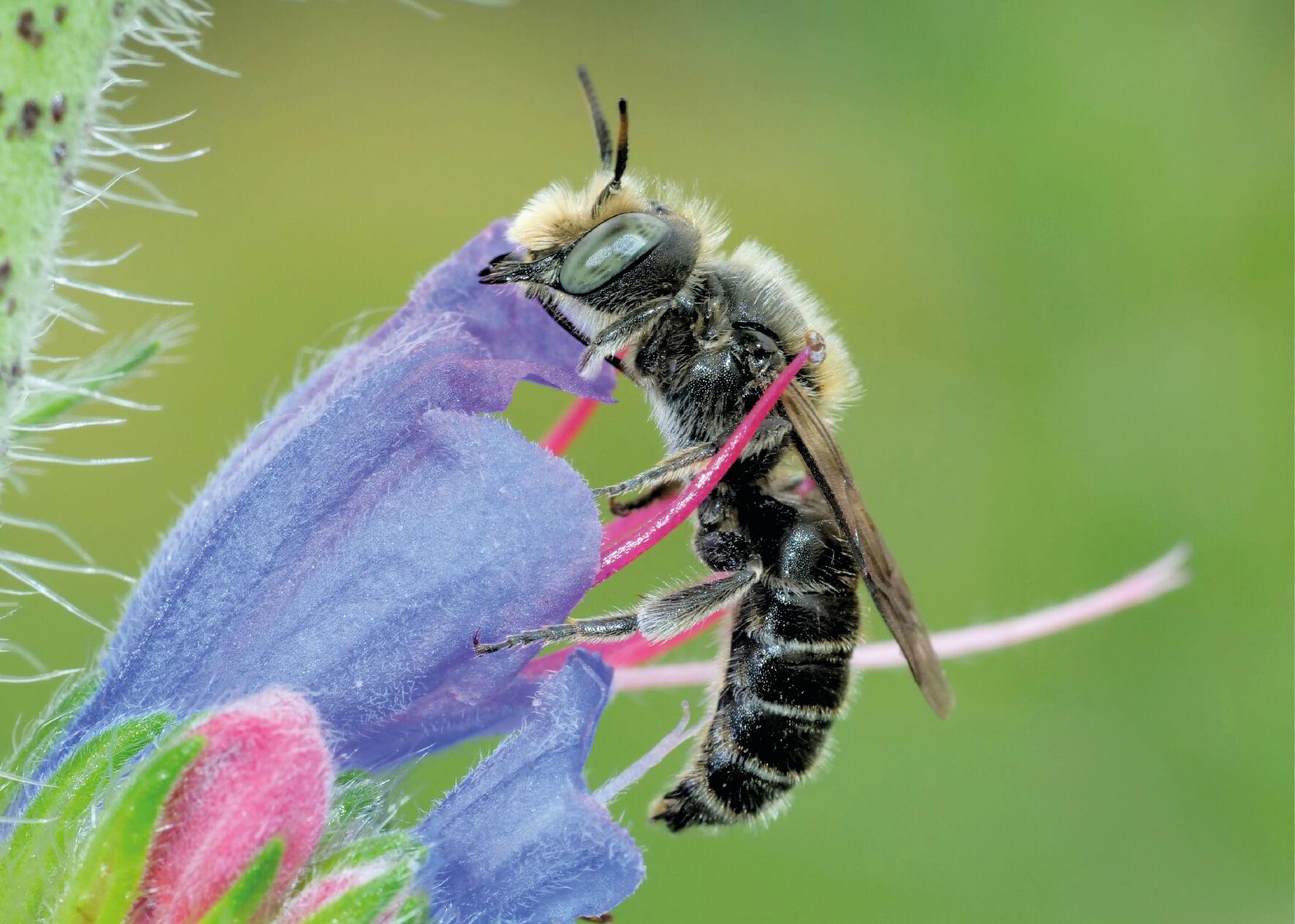 Eine Wildbiene sitzt auf einer lilafarbenen Blume (Wildbienen natürlich unterstützen).