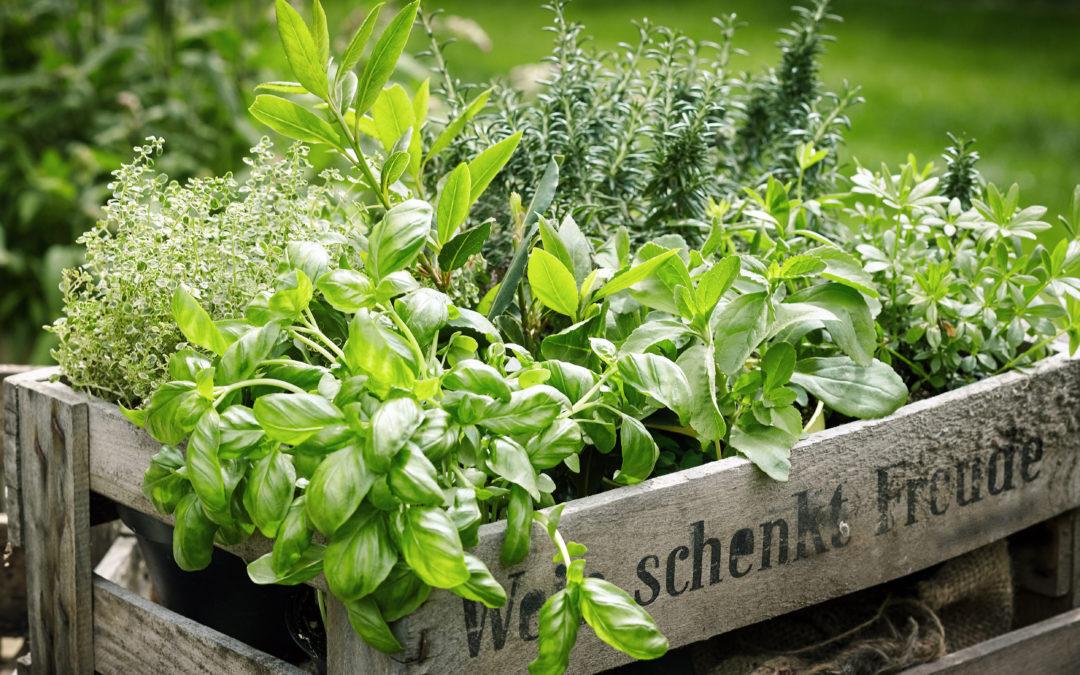 Gartenkräuter – Kräuter im eigenen Garten anbauen