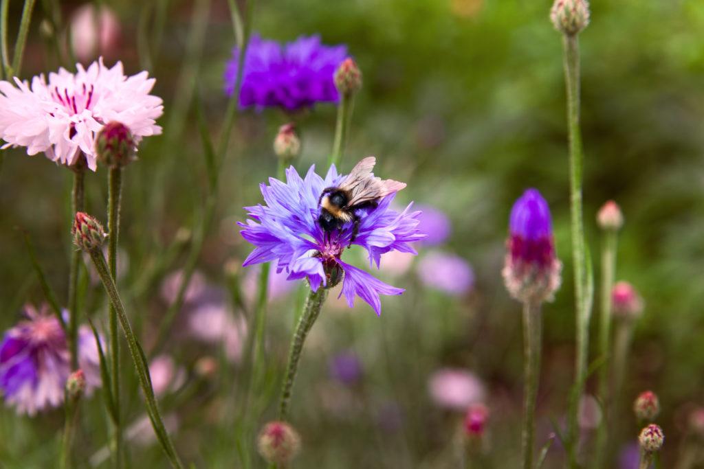 Nützlinge: Eine Wiese mit Kornblumen, eine Hummel sitzt auf einer blauen Blume.