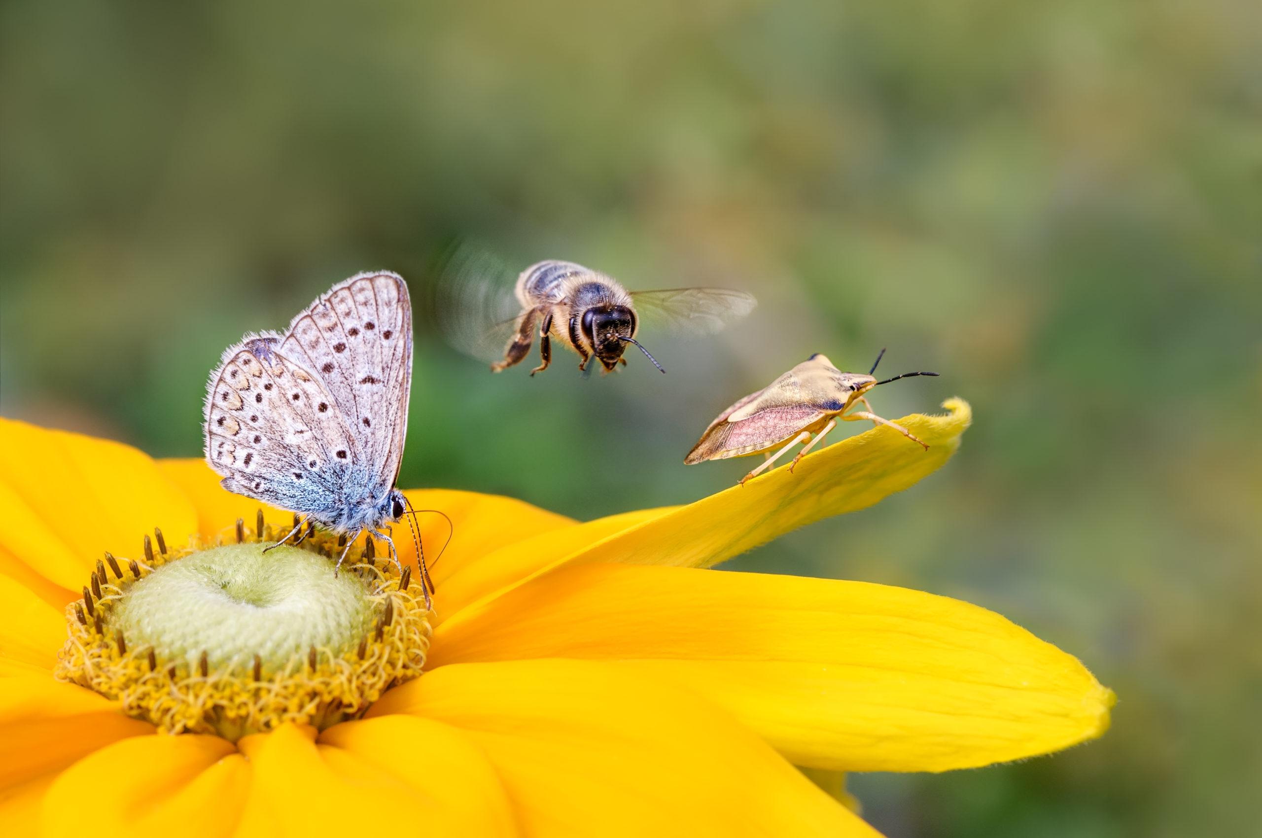 Nützlinge: verschiedene Insekten sitzen auf einer gelben Blume.